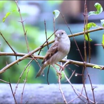 Sparrows need our help